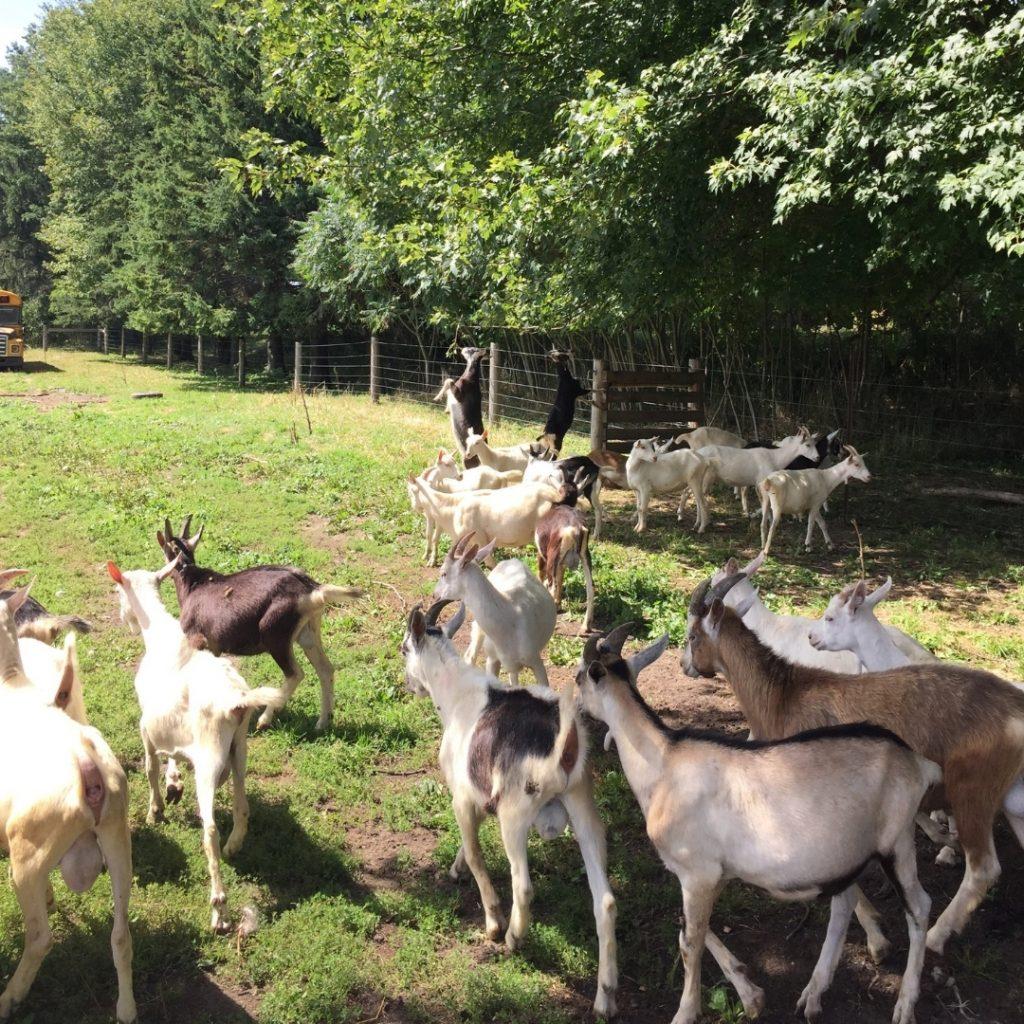 Pygmy Goat, Farm Living, Goat Farm Near Me, Udderly Ridiculous Farm Life, Bright, Ontario