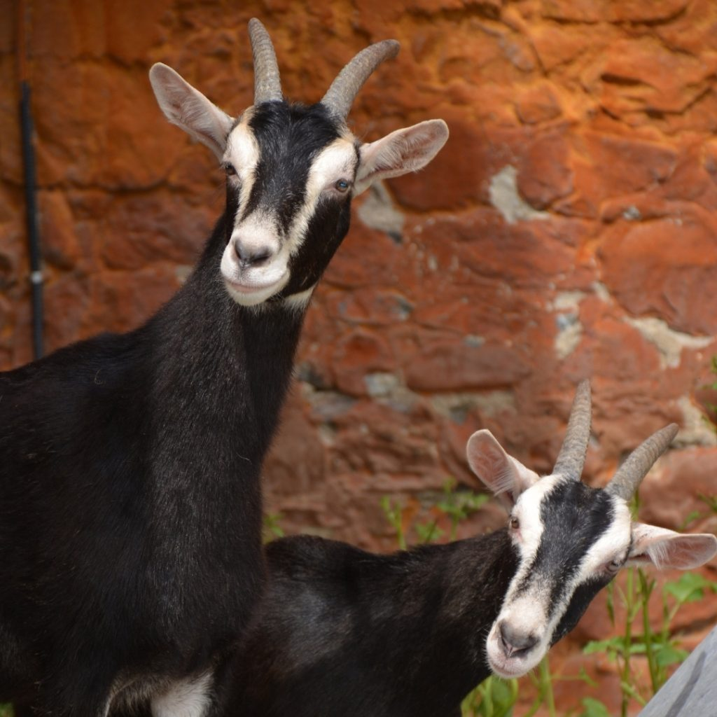 Baby Goat, Farm Living, Goat Farm Near Me, Udderly Ridiculous Farm Life, Bright, Ontario