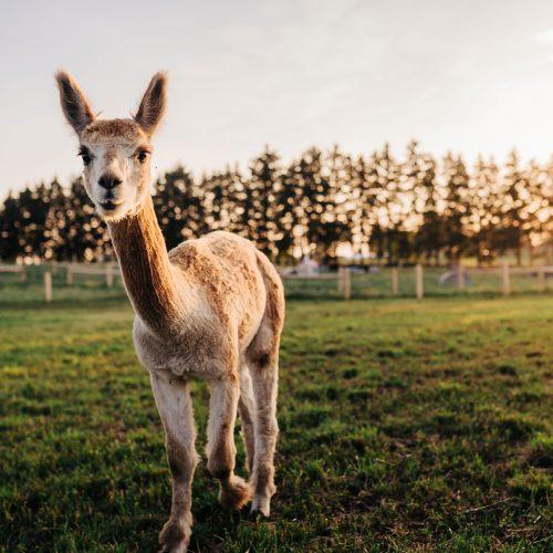 alpaca-encounters