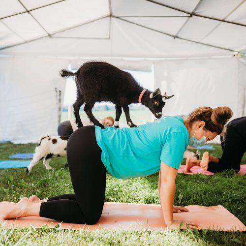 goat-yoga